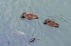 Enten und Karpfen auf dem Teich lizenzfreie stockfotos