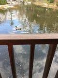 Enten und Kräuselungen auf einem japanischen Gartensee Stockbilder