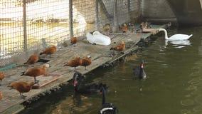 Enten und Schwäne stock footage