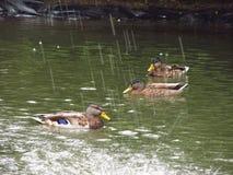 Enten unter dem fallenden Wasser Lizenzfreie Stockfotos