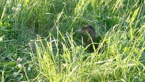 Enten unter hohem grünem Gras stock video footage