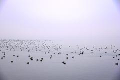 Enten vom Nebel Stockfoto