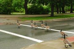 Enten, welche die Straße kreuzen Stockbilder