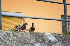 Entenanschluß - Enten, die versuchen, auf Flussbank zu reproduzieren lizenzfreie stockfotos