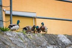 Entenanschluß - Enten, die versuchen, auf Flussbank zu reproduzieren stockfotos