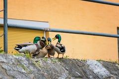 Entenanschluß - Enten, die versuchen, auf Flussbank zu reproduzieren stockfoto