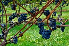 Entendu lui par la vigne Photo stock