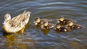 Entenfamilie Lizenzfreies Stockfoto