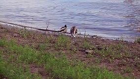 Entenfamilie auf dem Fluss stock video footage