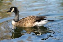 Entenflöße auf Wasserabschluß oben lizenzfreies stockfoto