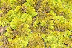 Entengrütze bedeckt im Sumpf Lizenzfreies Stockfoto