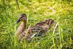 Entenmutter und -babys Stockbild