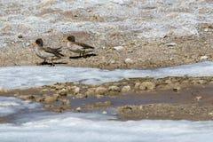 Entenpaare in gefrorenem Wasser Stockfoto
