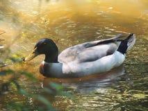 Entenschwimmen auf Teich Lizenzfreie Stockfotografie