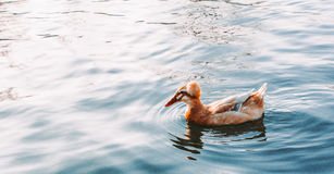 Entenschwimmen im See Lizenzfreies Stockbild