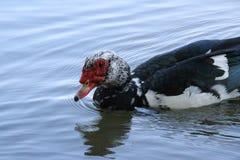 Entenschwimmen im Teich Lizenzfreie Stockbilder