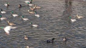 Entenschwimmen im Teich Russische Natur, Wildniswelt stock video