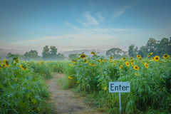 Enter the path of the sunflower maze Royalty Free Stock Photos