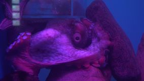 Enteroctopus dofleini, also known as Giant Pacific octopus or North Pacific giant octopus stock footage video. Enteroctopus dofleini, also known as the Giant stock footage
