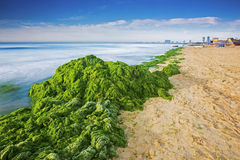 Enteromorpha erosion coast. In 2014 China's northern coast, beautiful coast is big enteromorpha erosion, has seriously affected the beach is beautiful and the stock images
