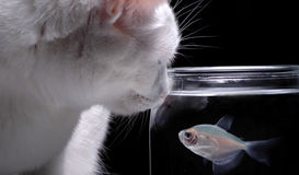Entertainment. A white cat peers into a fish bowl in order to watch a swimming fish stock images