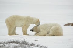 Entertainments of polar bears. Royalty Free Stock Photos