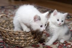 Entertainments of restless kittens Stock Photography