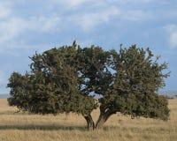 Entferntes sideview eines Schwarz-chested Geländeläuferadlers, der an der Spitze eines großen Acai-Baums mit Hintergrund des blau Stockbilder