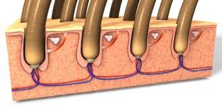 Enthäuten Sie Teil mit einem Querschnitt der menschlichen Haut mit dem Follikel Stockfoto