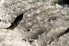 Enthousiast Salmon Attempting om Ladder te springen Stock Afbeelding