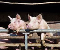 Enthousiastic pigs royalty free stock photo