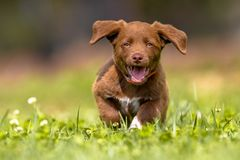 Little puppy running with flapping ears. Enthusiastic Playful brown puppy enjoying the lovely weather while running through grass in a backyard lawn royalty free stock photography