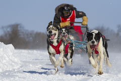 Enthusiastic team of dogs Stock Photos
