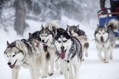 Enthusiastic Team Of Dogs In A Dog Sledding Race. Royalty Free Stock Photos