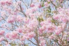 Entièrement de l'arbre de trompette de rose de rosea de Tabebuia photographie stock