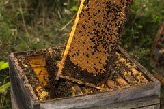 Entièrement nid d'abeilles de miel enlevé de la vieille ruche Photo stock