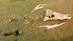 Entierro esquelético del cocodrilo del agua salada en la arena Imagen de archivo libre de regalías