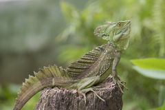 Entire Iguana in terrarium Stock Photos