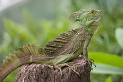 Entire Iguana in terrarium Stock Images