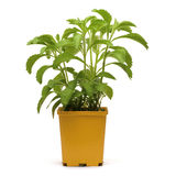 Entire plant of stevia rebaudiana Royalty Free Stock Photos