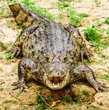 Entlang dem Fluss ein Krokodil Stockfotografie