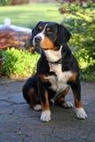 Entlebucher berghund, bernersennhund Arkivbilder
