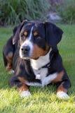 Entlebucher berghund, entlebuchersennhund Royaltyfri Foto