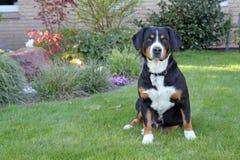 Entlebucher berghund, entlebuchersennhund Arkivfoto