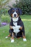 Entlebucher berghund, entlebuchersennhund Fotografering för Bildbyråer