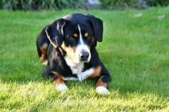 Entlebucher berghund, entlebuchersennhund Royaltyfria Bilder