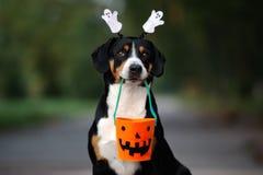 Free Entlebucher Dog Posing For Halloween Stock Images - 125423754