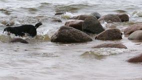Entlebucher Mountain Dog Plays on the Seashore stock video