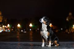 Entlebucher Mountain Dog, Sennenhund walks on a night Royalty Free Stock Images