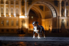 Entlebucher Mountain Dog, Sennenhund walks on a night Royalty Free Stock Photography